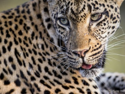calendar, when to go, best, wildlife, safari, photo safari, photo tour, photographic safari, photographic tour, photo workshop, wildlife photography, five zero safaris, five zero photographic safaris, fivezero, kurt jay bertels, south africa, female, leopard