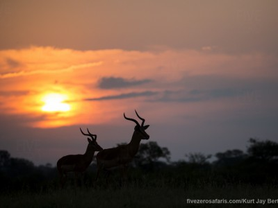 calendar, when to go, best, wildlife, safari, photo safari, photo tour, photographic safari, photographic tour, photo workshop, wildlife photography, five zero safaris, five zero photographic safaris, fivezero, kurt jay bertels, south africa, impala, sunset, silhouette,