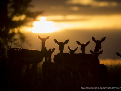 calendar, when to go, best, wildlife, safari, photo safari, photo tour, photographic safari, photographic tour, photo workshop, wildlife photography, five zero safaris, five zero photographic safaris, fivezero, kurt jay bertels, south africa, impala, sunset, silhouette