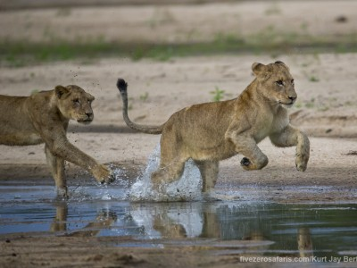 calendar, when to go, best, wildlife, safari, photo safari, photo tour, photographic safari, photographic tour, photo workshop, wildlife photography, five zero safaris, five zero photographic safaris, fivezero, kurt jay bertels, south africa, lions, running, playing, river, water