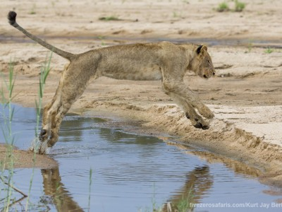 calendar, when to go, best, wildlife, safari, photo safari, photo tour, photographic safari, photographic tour, photo workshop, wildlife photography, five zero safaris, five zero photographic safaris, fivezero, kurt jay bertels, south africa, lion, jumping, water, river