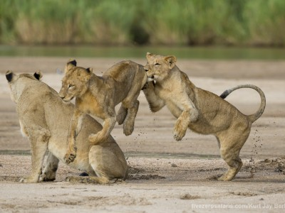 calendar, when to go, best, wildlife, safari, photo safari, photo tour, photographic safari, photographic tour, photo workshop, wildlife photography, five zero safaris, five zero photographic safaris, fivezero, kurt jay bertels, south africa, lions, playing, cubs