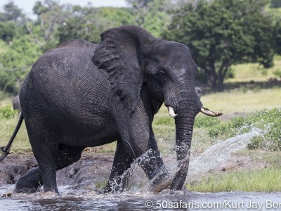 Botswana, chobe river, calendar, when to go, best, wildlife, safari, photo safari, photo tour, photographic safari, photographic tour, photo workshop, wildlife photography, 50 safaris, 50 photographic safaris, kurt jay bertels, elephant, drinking, swimming