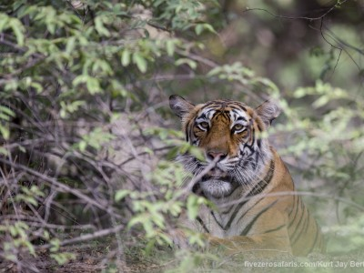 calendar, when to go, best, wildlife, safari, photo safari, photo tour, photographic safari, photographic tour, photo workshop, wildlife photography, five zero safaris, five zero photographic safaris, fivezero, kurt jay bertels, tiger safari, india, tiger, bengal tiger
