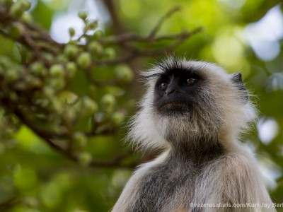 calendar, when to go, best, wildlife, safari, photo safari, photo tour, photographic safari, photographic tour, photo workshop, wildlife photography, five zero safaris, five zero photographic safaris, fivezero, kurt jay bertels, tiger safari, india, langur monkey, grey langur