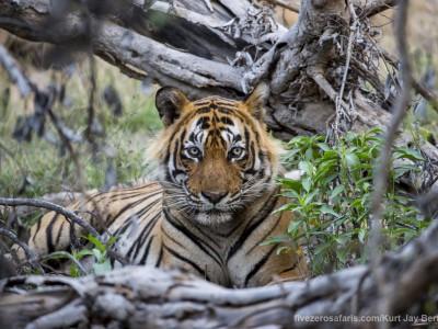 calendar, when to go, best, wildlife, safari, photo safari, photo tour, photographic safari, photographic tour, photo workshop, wildlife photography, five zero safaris, five zero photographic safaris, fivezero, kurt jay bertels, tiger safari, india, tiger, bengal tiger