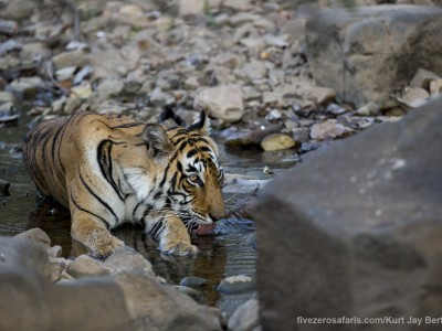 calendar, when to go, best, wildlife, safari, photo safari, photo tour, photographic safari, photographic tour, photo workshop, wildlife photography, five zero safaris, five zero photographic safaris, fivezero, kurt jay bertels, tiger safari, india, tiger, bengal tiger, drinking, swimming, water