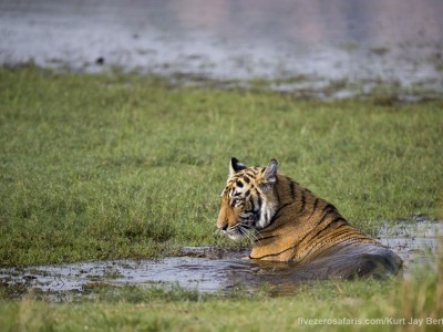 calendar, when to go, best, wildlife, safari, photo safari, photo tour, photographic safari, photographic tour, photo workshop, wildlife photography, five zero safaris, five zero photographic safaris, fivezero, kurt jay bertels, tiger safari, india, tiger, bengal tiger, swimming, water, lake
