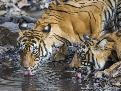 calendar, when to go, best, wildlife, safari, photo safari, photo tour, photographic safari, photographic tour, photo workshop, wildlife photography, five zero safaris, five zero photographic safaris, fivezero, kurt jay bertels, tiger safari, india, tiger, bengal tiger, drinking
