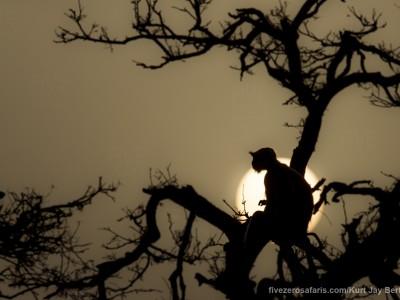 calendar, when to go, best, wildlife, safari, photo safari, photo tour, photographic safari, photographic tour, photo workshop, wildlife photography, five zero safaris, five zero photographic safaris, fivezero, kurt jay bertels, tiger safari, india, langur monkey, sunset, monkey