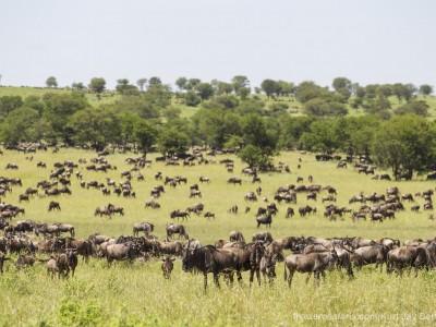 photo safari, photographic safari, wildlife photographic safari, photo tour, photo workshop, when to go, best, fivezero safaris, five zero, safari, kurt jay bertels, tanzania, serengeti national park, wildebeest, migration