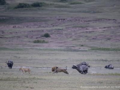 photo safari, photographic safari, wildlife photographic safari, photo tour, photo workshop, when to go, best, fivezero safaris, five zero, safari, kurt jay bertels, tanzania, ngorogoro crater, lion, buffalo, chase