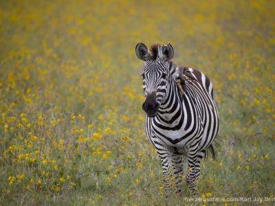 photo safari, photographic safari, wildlife photographic safari, photo tour, photo workshop, when to go, best, fivezero safaris, five zero, safari, kurt jay bertels, tanzania, ngorogoro crater, zebra