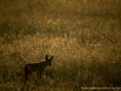 photo safari, photographic safari, wildlife photographic safari, photo tour, photo workshop, when to go, best, fivezero safaris, five zero, safari, kurt jay bertels, tanzania, serengeti national park, black backed jackal