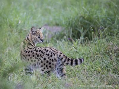 photo safari, photographic safari, wildlife photographic safari, photo tour, photo workshop, when to go, best, fivezero safaris, five zero, safari, kurt jay bertels, tanzania, ngorogoro crater, serval
