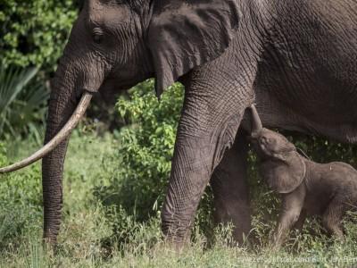 photo safari, photographic safari, wildlife photographic safari, photo tour, photo workshop, when to go, best, fivezero safaris, five zero, safari, kurt jay bertels, tanzania, elephant, baby, calf, drinking, lake manyara