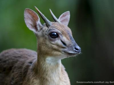 photo safari, photographic safari, wildlife photographic safari, photo tour, photo workshop, when to go, best, fivezero safaris, five zero, safari, kurt jay bertels, suni antelope, zanzibar