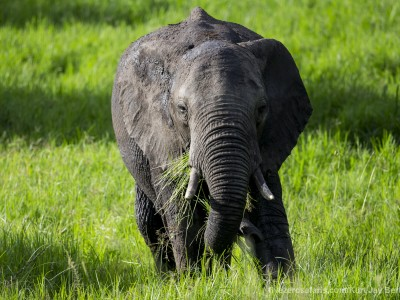 photo safari, photographic safari, wildlife photographic safari, photo tour, photo workshop, when to go, best, fivezero safaris, five zero, safari, kurt jay bertels, tanzania, serengeti national park, elephant
