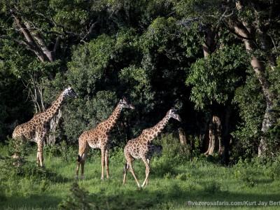 photo safari, photographic safari, wildlife photographic safari, photo tour, photo workshop, when to go, best, fivezero safaris, five zero, safari, kurt jay bertels, tanzania, serengeti national park, giraffe