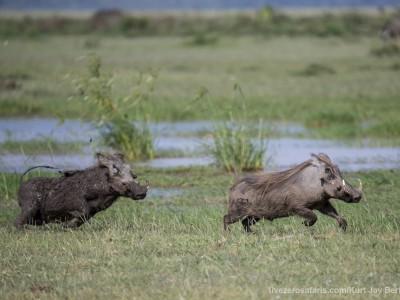 photo safari, photographic safari, wildlife photographic safari, photo tour, photo workshop, when to go, best, fivezero safaris, five zero, safari, kurt jay bertels, tanzania, warthog, chase, male, lake manyara