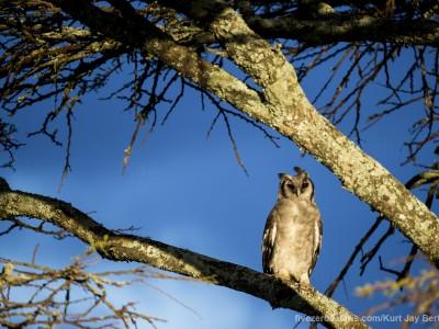 photo safari, photographic safari, wildlife photographic safari, photo tour, photo workshop, when to go, best, fivezero safaris, five zero, safari, kurt jay bertels, tanzania, serengeti national park, verreauxs eagle owl