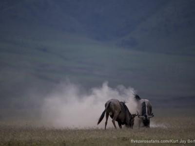 photo safari, photographic safari, wildlife photographic safari, photo tour, photo workshop, when to go, best, fivezero safaris, five zero, safari, kurt jay bertels, tanzania, ngorogoro crater, wildebeest, fighting