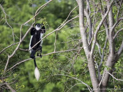 photo safari, photographic safari, wildlife photographic safari, photo tour, photo workshop, when to go, best, fivezero safaris, five zero, safari, kurt jay bertels, tanzania, serengeti national park, black and white colobus, monkey