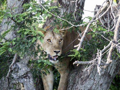 photo safari, photographic safari, wildlife photographic safari, photo tour, photo workshop, when to go, best, fivezero safaris, five zero, safari, kurt jay bertels, tanzania, serengeti national park, lion, in tree