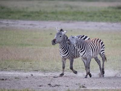 photo safari, photographic safari, wildlife photographic safari, photo tour, photo workshop, when to go, best, fivezero safaris, five zero, safari, kurt jay bertels, tanzania, ngorogoro crater, zebra, fighting,