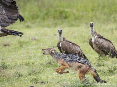 photo safari, photographic safari, wildlife photographic safari, photo tour, photo workshop, when to go, best, fivezero safaris, five zero, safari, kurt jay bertels, tanzania, ngorogoro crater, jackal, chasing, vulture
