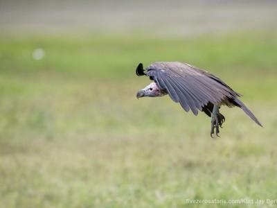 photo safari, photographic safari, wildlife photographic safari, photo tour, photo workshop, when to go, best, fivezero safaris, five zero, safari, kurt jay bertels, tanzania, ngorogoro crater, lappet faced vulture