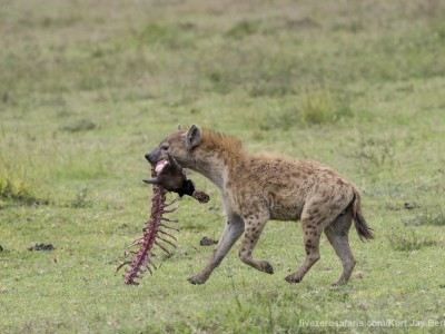 photo safari, photographic safari, wildlife photographic safari, photo tour, photo workshop, when to go, best, fivezero safaris, five zero, safari, kurt jay bertels, tanzania, ngorogoro crater, spotted hyena, kill, wildebeest