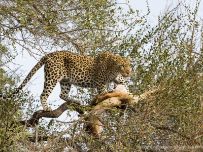 photo safari, photographic safari, wildlife photographic safari, photo tour, photo workshop, when to go, best, fivezero safaris, five zero, safari, kurt jay bertels, south africa, kruger national park, sari sands, leopard, cub, eating, tree