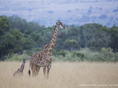 giraffe, masai giraffe, baby, young, calf, photo safari, photographic safari, wildlife photographic safari, photo tour, photo workshop, when to go, best, fivezero safaris, five zero, safari, kurt jay bertels, kenya, masai mara, great migration,