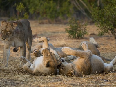 photo safari, photographic safari, wildlife photographic safari, photo tour, photo workshop, when to go, best, fivezero safaris, five zero, safari, kurt jay bertels, south africa, kruger national park, sari sands, lion, playing