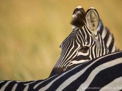 zebra, photo safari, photographic safari, wildlife photographic safari, photo tour, photo workshop, when to go, best, fivezero safaris, five zero, safari, kurt jay bertels, kenya, masai mara, great migration,