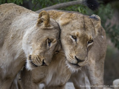 photo safari, photographic safari, wildlife photographic safari, photo tour, photo workshop, when to go, best, fivezero safaris, five zero, safari, kurt jay bertels, south africa, kruger national park, sari sands, lions, greeting