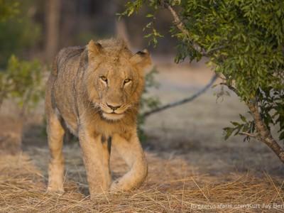 photo safari, photographic safari, wildlife photographic safari, photo tour, photo workshop, when to go, best, fivezero safaris, five zero, safari, kurt jay bertels, south africa, kruger national park, sari sands, lion, male