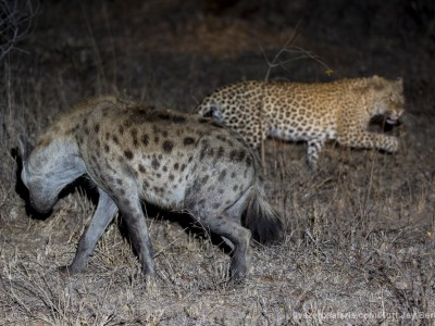 leopard, hyena, fighting, fight, stealing, kill, photo safari, photographic safari, wildlife photographic safari, photo tour, photo workshop, when to go, best, fivezero safaris, five zero, safari, kurt jay bertels, south africa, kruger national park, sari sands,
