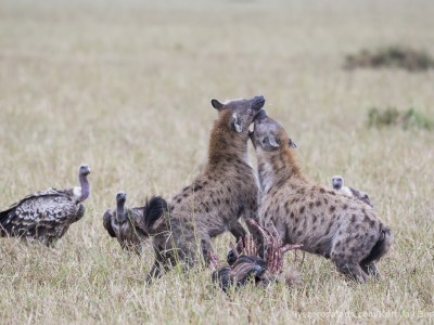 hyena, spotted hyena, kill, fighting, photo safari, photographic safari, wildlife photographic safari, photo tour, photo workshop, when to go, best, fivezero safaris, five zero, safari, kurt jay bertels, kenya, masai mara,