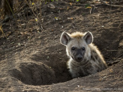 photo safari, photographic safari, wildlife photographic safari, photo tour, photo workshop, when to go, best, fivezero safaris, five zero, safari, kurt jay bertels, south africa, kruger national park, sari sands, hyena, spotted, young, den