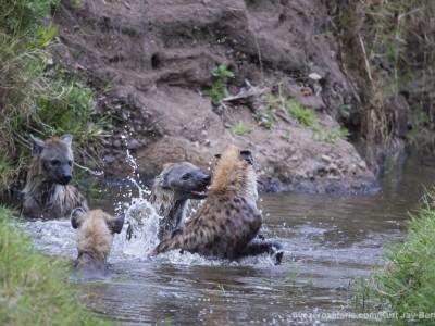spotted hyena, playing, water, fighting, photo safari, photographic safari, wildlife photographic safari, photo tour, photo workshop, when to go, best, fivezero safaris, five zero, safari, kurt jay bertels, kenya, masai mara, great migration,