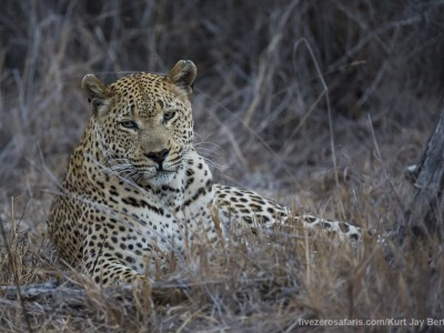 photo safari, photographic safari, wildlife photographic safari, photo tour, photo workshop, when to go, best, fivezero safaris, five zero, safari, kurt jay bertels, south africa, kruger national park, sari sands, male, leopard