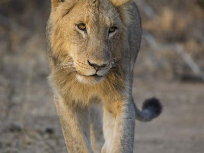 photo safari, photographic safari, wildlife photographic safari, photo tour, photo workshop, when to go, best, fivezero safaris, five zero, safari, kurt jay bertels, south africa, kruger national park, sari sands, lion, male