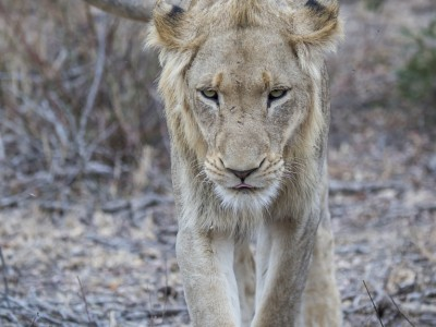 photo safari, photographic safari, wildlife photographic safari, photo tour, photo workshop, when to go, best, fivezero safaris, five zero, safari, kurt jay bertels, south africa, kruger national park, sari sands, lion, male, young