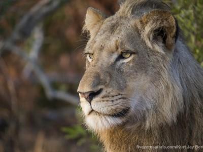 lion photo safari, photographic safari, wildlife photographic safari, photo tour, photo workshop, when to go, best, fivezero safaris, five zero, safari, kurt jay bertels, south africa, kruger national park, sari sands, male