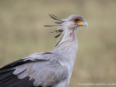 photo safari, photographic safari, wildlife photographic safari, photo tour, photo workshop, when to go, best, fivezero safaris, five zero, safari, kurt jay bertels, kenya, masai mara, secretary bird