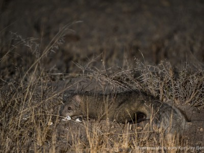 photo safari, photographic safari, wildlife photographic safari, photo tour, photo workshop, when to go, best, fivezero safaris, five zero, safari, kurt jay bertels, south africa, kruger national park, sari sands, white tailed mongoose, tortoise eggs, eating