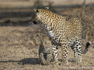 photo safari, photographic safari, wildlife photographic safari, photo tour, photo workshop, when to go, best, fivezero safaris, five zero, safari, kurt jay bertels, south africa, kruger national park, sari sands, leopard, cub,