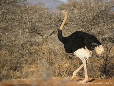 photo safari, photographic safari, wildlife photographic safari, photo tour, photo workshop, when to go, best, fivezero safaris, five zero, safari, kurt jay bertels, kenya, samburu, somali ostrich